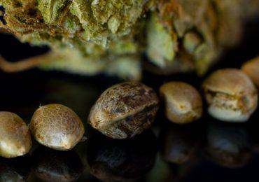 Colombia se perfila como futuro banco mundial de semillas de cannabis