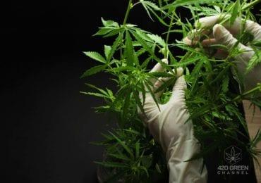 Descubren dos nuevos cannabinoides: tetrahidrocannabiphorol (THCP) y cannabidiphorol (CBDP)