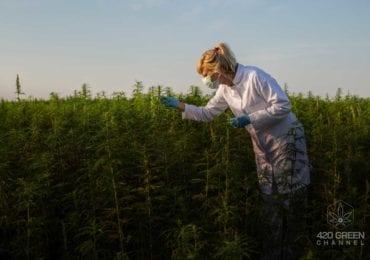 España: Más de 90 000 puestos de trabajo generaría la industria del cannabis legal